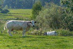 Vache (1)